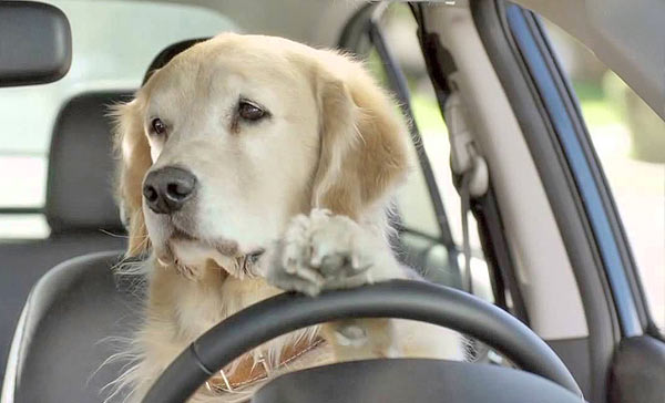 dog-driving-car-driver-dog-golden-retriever